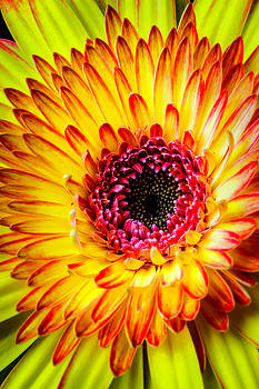 Close Up Yellow Gerbera Daisy by Garry Gay