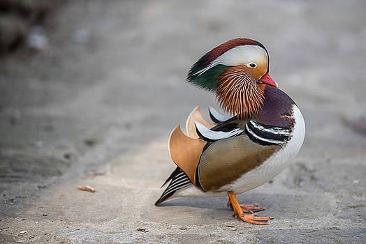 Closeup male mandarin duck ,Aix galericulata by Julian Popov