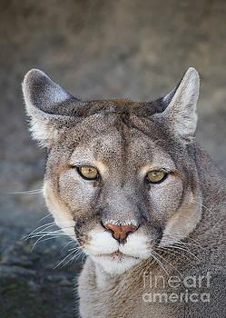 Closeup Mountain Lion Portrait by Brandon Alms