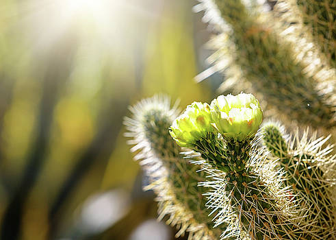Closeup of Blooming Cholla Cactus With Copy Space by Susan Schmitz