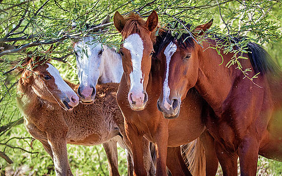 Closeup of Herd of Four Wild Horses by Susan Schmitz