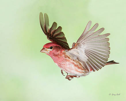 Closeup of Mr P Finch by Gerry Sibell
