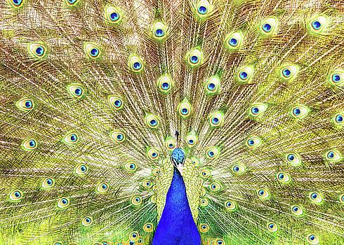 Susan Schmitz - Closeup of Peacock Displaying Train