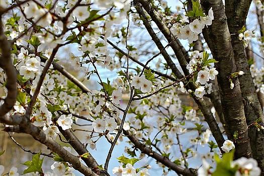Andrew Davis - Closeup of White Cherry Blossoms #2