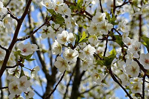 Andrew Davis - Closeup of White Cherry Blossoms