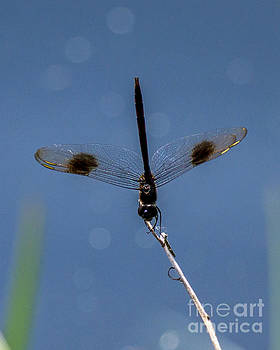 Stephen Whalen - Closeup Spotted Dragonfly