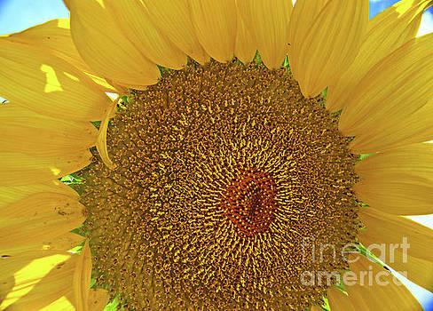George D Gordon III - Closeup Sunflower