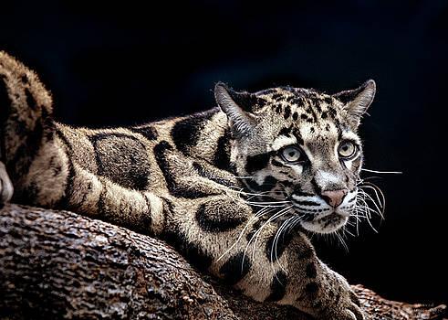 Clouded Leopard by David Millenheft