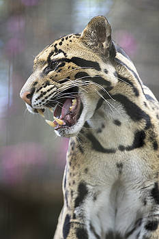 Clouded Leopard Unhappy by John McQuiston