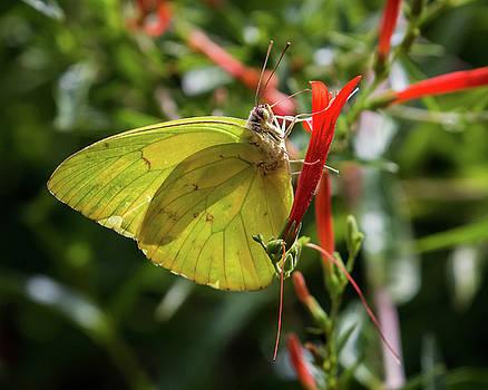 Rosemary Woods-Desert Rose Images - Cloudless Sulphur Butterfly-img__8002-2016