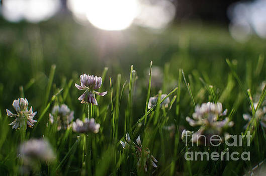 Clover at Sunset by Kassie Nelson