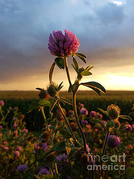 Clover at Sunset by Viviana Nadowski