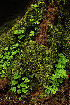 Clover in the Forest by David Lunde