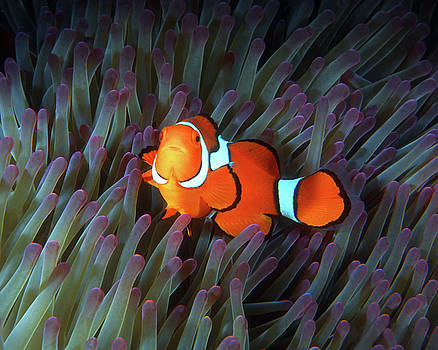 Pauline Walsh Jacobson - Clownfish in Anemone, Great Barrier Reef 5