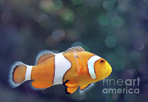 Clown Fish in Bokeh  by Nina Silver