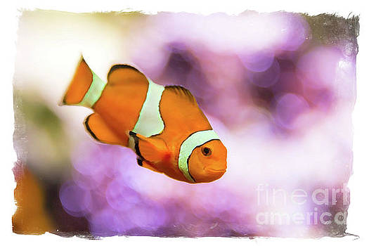 Delphimages Photo Creations - Clown fish watercolor