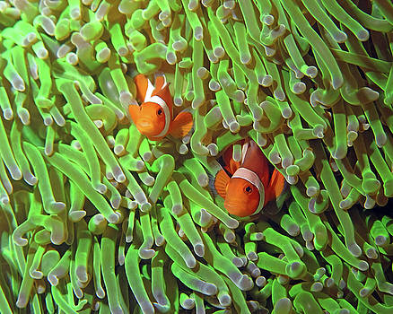 Clownfish in Anemone, Indonesia 4 by Pauline Walsh Jacobson