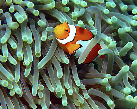 Clownfish in Anemone, Indonesia 5 by Pauline Walsh Jacobson