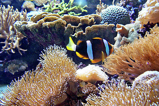 Clownfish in Anemone by Jenness Asby