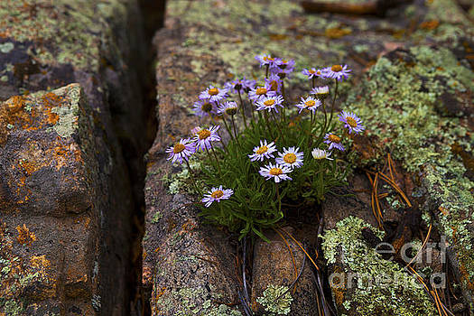 Clump of Asters by Barbara Schultheis