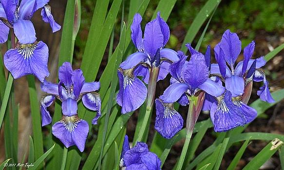 Cluster Of Siberian Irises by Matt Taylor