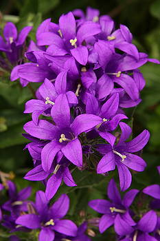 Clustered Bellflower by Lyle Hatch