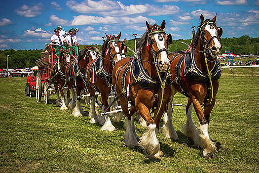 Budweiser Clydesdale Horses by Robert L Jackson