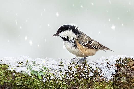 Simon Bratt Photography LRPS - Coal tit wild bird on snowy log