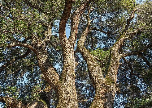 Coast Live Oak Beauty by Alexander Kunz