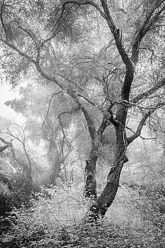 Coast Live Oaks in Morning Fog by Alexander Kunz