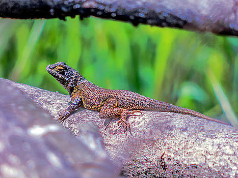 Coast Range Fence Lizard by Dragonfleyes Photography and Creations