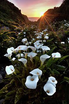 Coastal Calla Lilies by Ryan Smith