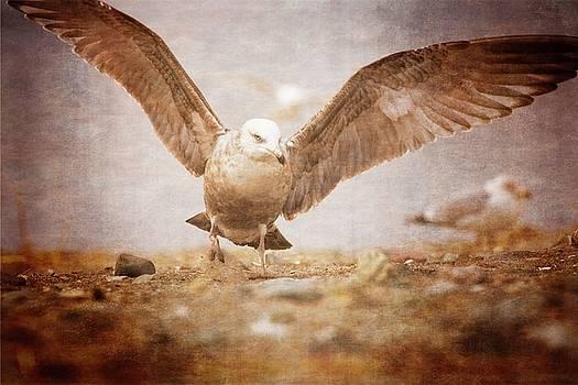 Coastal Gull by Karol Livote