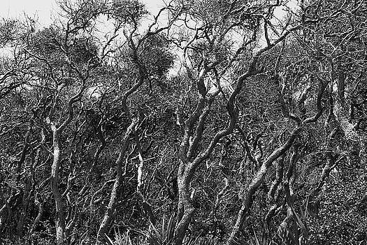 Paul Rebmann - Coastal Oaks