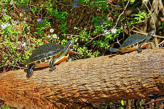 Coastal Plain Cooters on Log by Sally Weigand