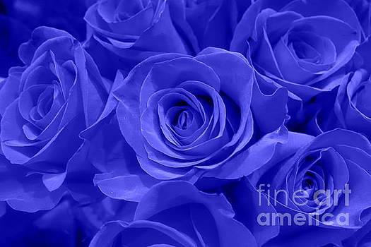 Roses - Flower - Cobalt Velvet  by Kip Krause