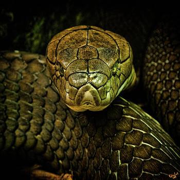 Cobra by Chris Lord