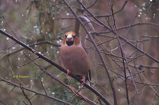Coccothraustes coccothraustes by B Vesseur