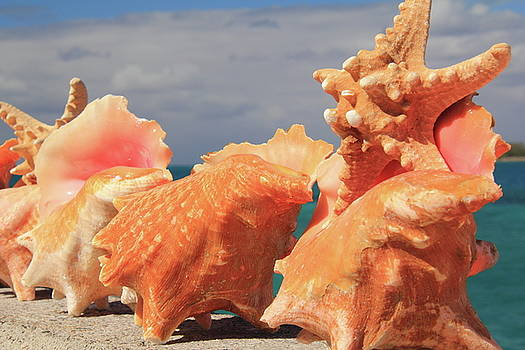 Coch Shells and Starfish by Roupen  Baker