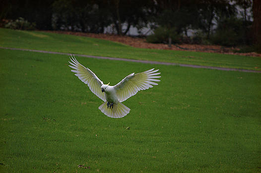 Cockatoo in flight by Cheryl Hall