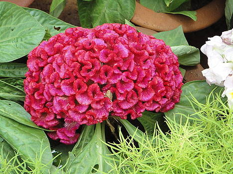 Usha Shantharam - Cockscomb Flower