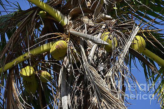 Bob Phillips - Coconut Palms