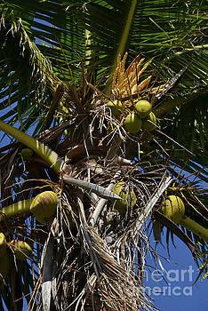 Bob Phillips - Coconut Palms Two