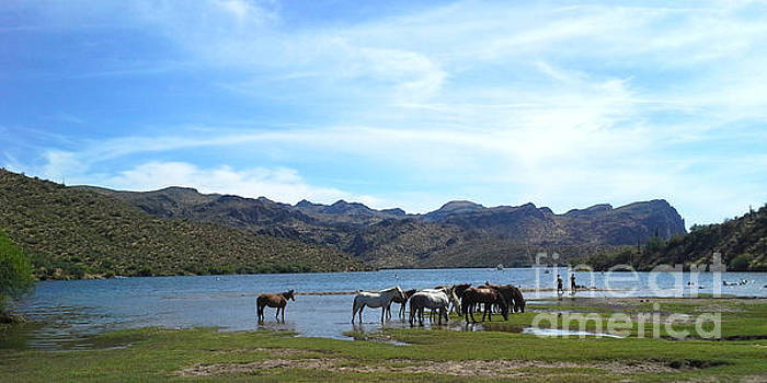 Heather Kirk - Coexistence Salt River Wild Horses Tonto National Forest Panoramic