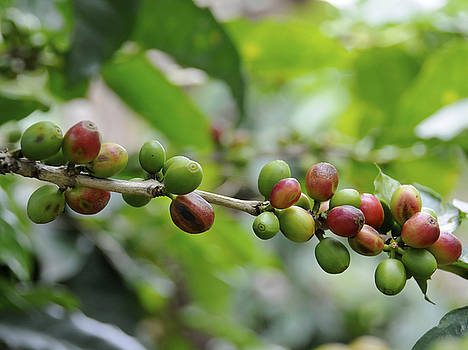 Coffee Beans Branch by Rosa Diaz