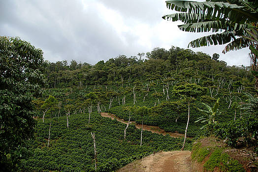Rosa Diaz - Coffee Farm Mountainside Road