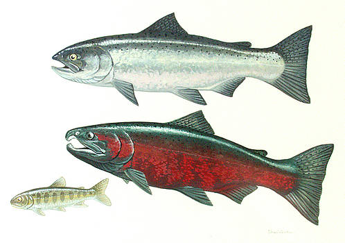 Coho Salmon by Shari Erickson