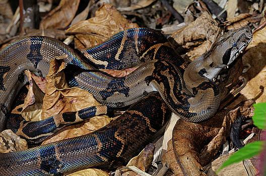 Reimar Gaertner - Coiled boa constrictor camouflaged on leaf litter in tropical ju