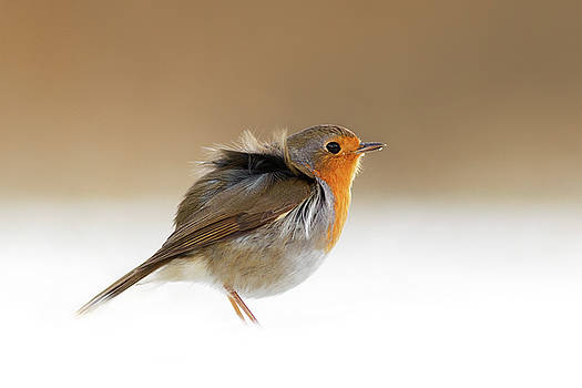 Cold Feet II - Little Red Robin in the Snow by Roeselien Raimond