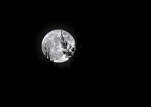Cold Moon Through the Redwoods by Dana Crandell